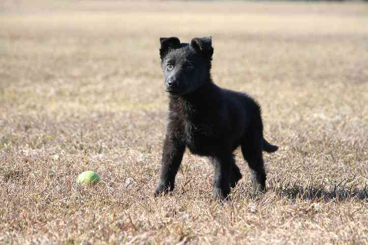 Buy a german shepherd puppy near me