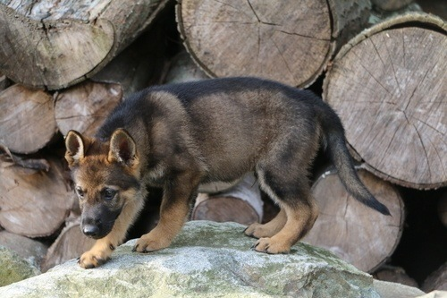 Baby Sable GSD Playing On Rock