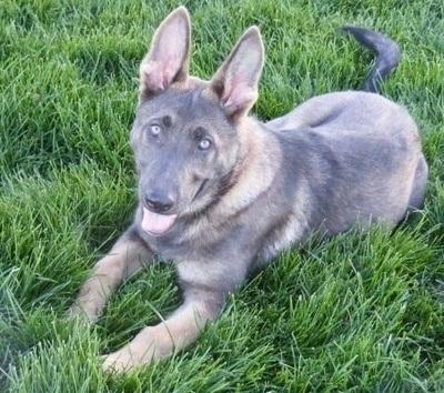 Blue German Shepherd Dogs For Sale