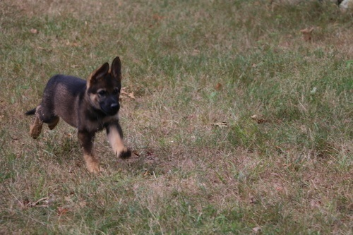 Sable German Shepherd Puppies For Sale
