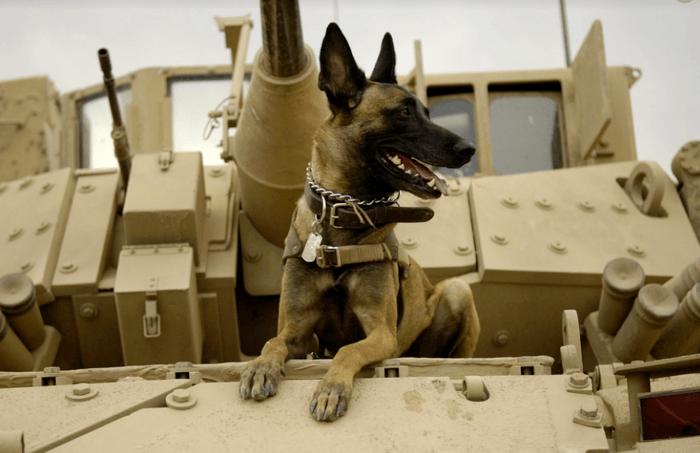 Belgian malinois Military k9 dog